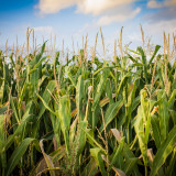 Corn futures traded in a narrow range